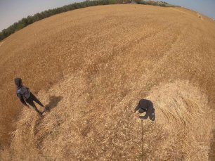 The grain harvest begins in Gaza, on 3 May 2021 [Mohammed Asad/Middle East Monitor]