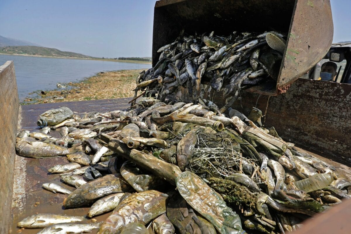 A load of dead carp fish scooped from along the shores of al-Qaraoun reservoir is dumped in the back of a truck at the site of the incident in Lebanon's Western Beqaa District in the country's east on April 29, 2021 [JOSEPH EID/AFP via Getty Images]