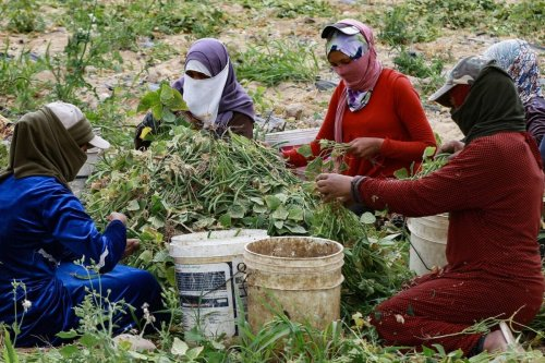 Jordanian women work on a harvest of green beans south of the capital Amman, on April 20, 2021 [KHALIL MAZRAAWI/AFP via Getty Images]