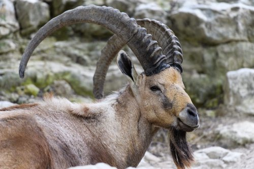 Ibex with Big Horns [Eric Kilby/Flickr]