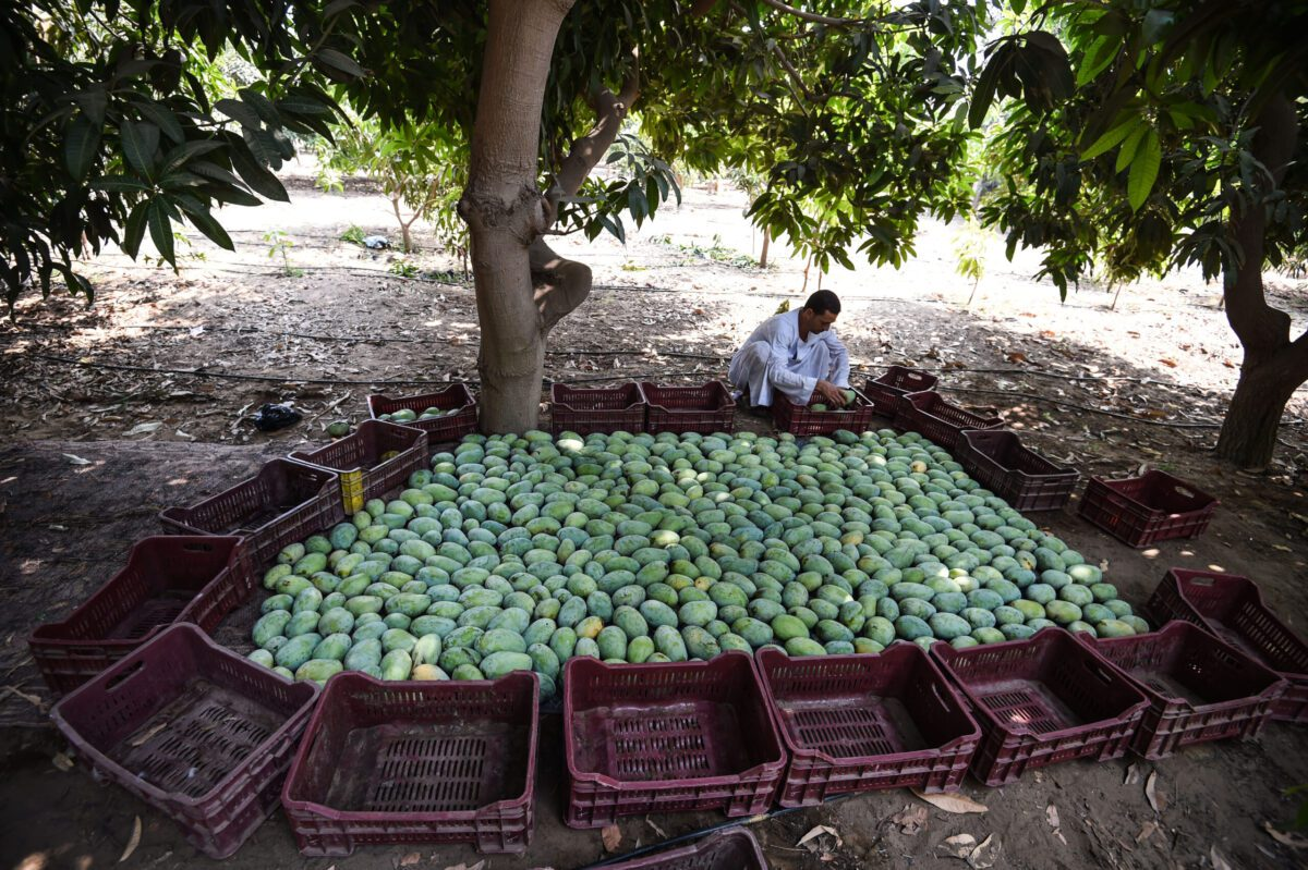 An Egyptian farmer conditions mangos in the village al-Qata, Giza Governorate, on August 27, 2018. (Photo by Mohamed el-Shahed / AFP) (Photo credit should read MOHAMED EL-SHAHED/AFP via Getty Images)