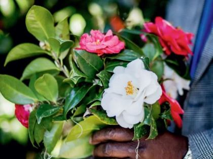 Meet the King of Camellias