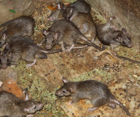 Peste : Les rats… partout !