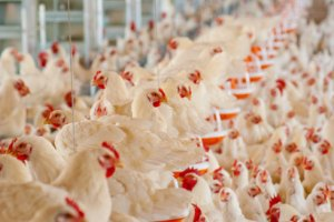 Il y a de nombreuses opportunités d'investissement dans le secteur de l'élevage.