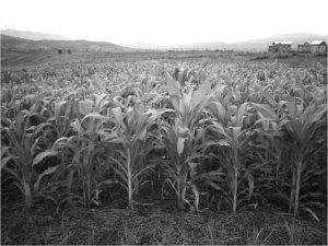 L'agriculture de conservation améliore à la fois le sol et les revenus des agriculteurs.