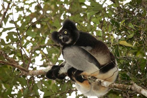 Protection de la biodiversité : Les mantelles et les lémuriens, au cœur d'un programme spécifique d'Ambatovy