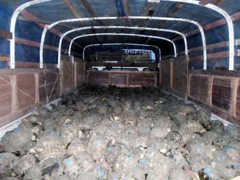 Betsinjake – Toliara : 10 196 tortues Radiata saisies