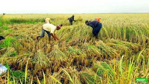 Filière riz : Mise en place d'un stock stratégique