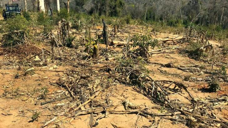 Aire Protégée Menabe Antimena :Des forêts de palissandre détruites pour la culture de maïs