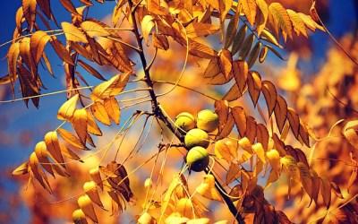 Le noyer, remède d'automne