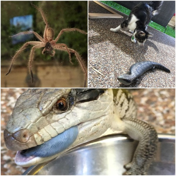 Scary looking spiders and Lizards which you encounter if you emigrate to Australia