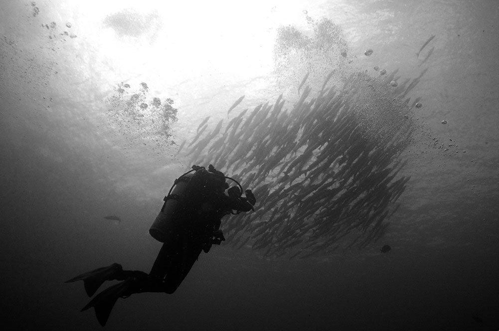 triggerfish-sipadan-scubadiving-midnightblueelephant