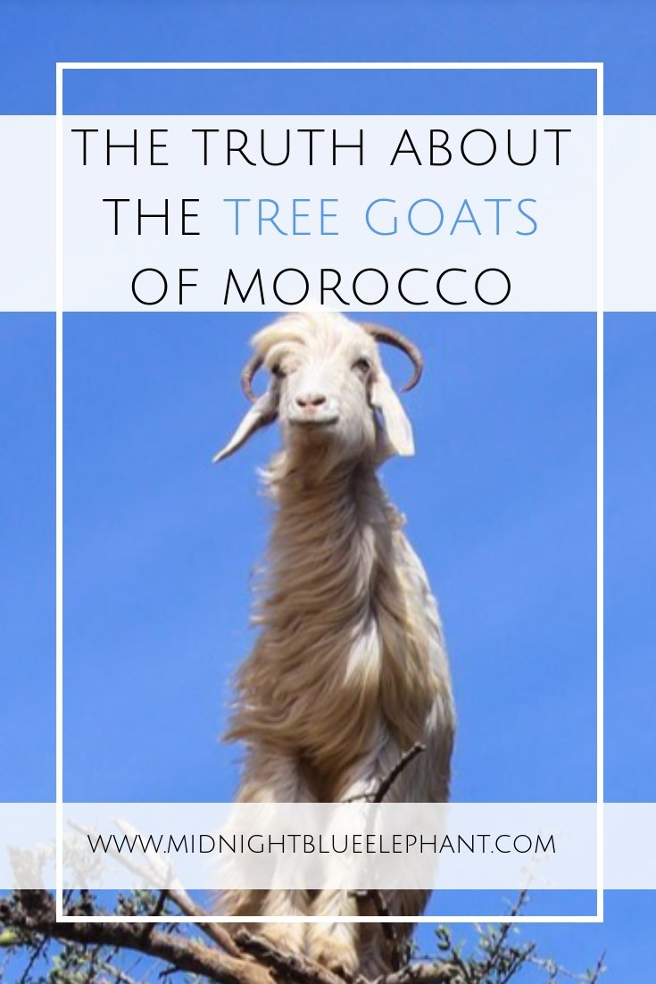 Want to see the famous goats in trees in Morocco? Here is my story of how I walked into a big tourist trap & the truth behind the argan tree goats. Why you shouldn't be paying to take pictures of the tree goats and where you can find more ethical alternatives in Morocco.#morocco #goats #treegoats #argantrees #arganoil #argan