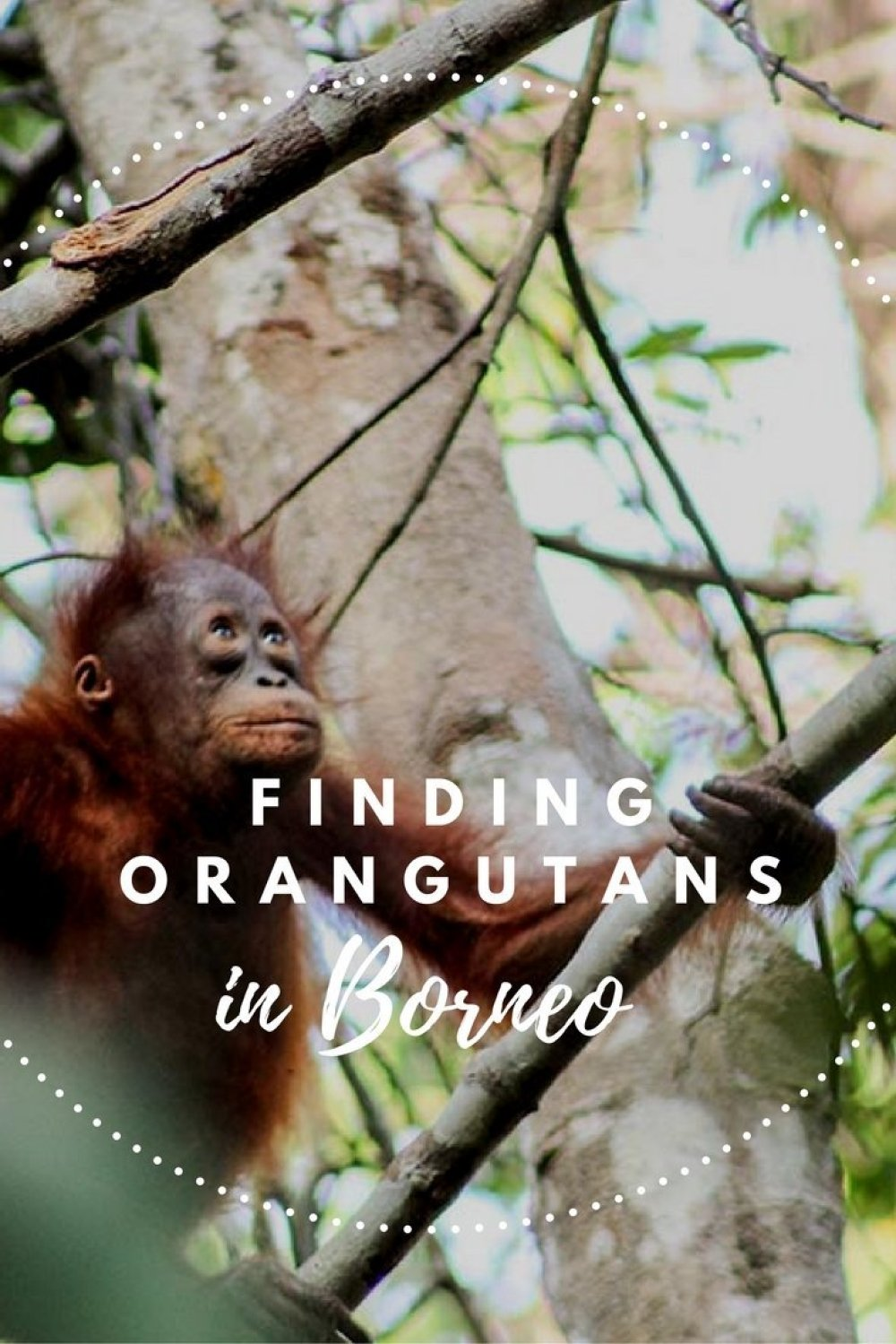 Where to take the best orangutan pictures? Come along for the ride through the jungle of Tanjung Puting in Borneo, Indonesia where you can find them roam wild. #orangutans #indonesia #borneo