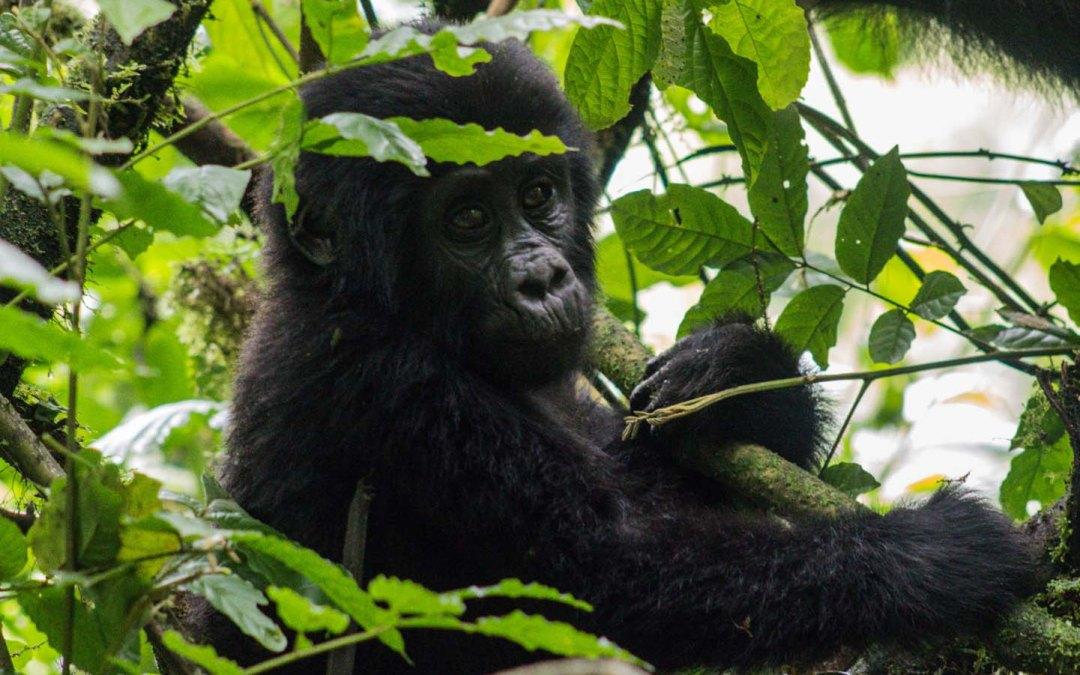 Things I wish I had known before Gorilla Trekking, Uganda.