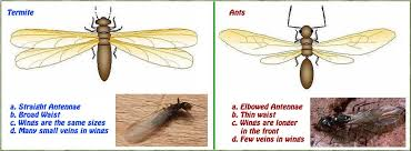Know The Difference Between Flying Ants And Termites Memphis Tn