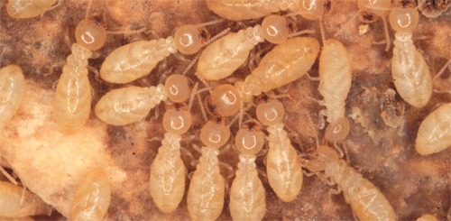 How To Get Rid of Termites Memphis and Cordova