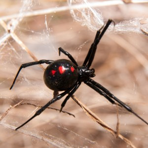 identify dangerous spiders