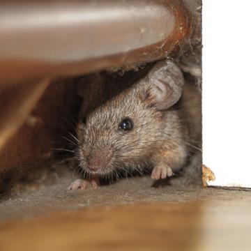 411 on mice