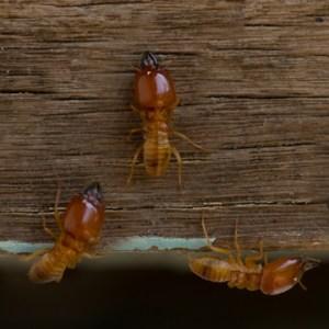 termite extermination isnt diy