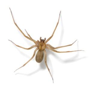 lowdown on brown recluse
