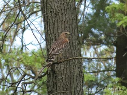 NonFeeder birds  Midwest bird watching
