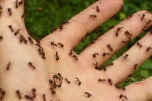miedo a las hormigas
