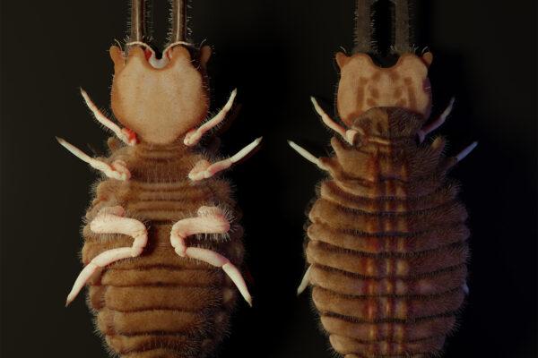 3rd instar larva of Palpares libelluloides