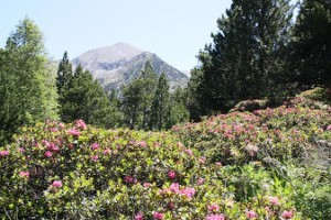 miel de rhododendron, miel rhododendron, rhododendron, miel, miel de montagne, miel des pyrénées