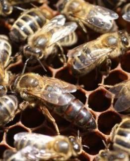 vente reine abeille noire, abeille noire,vente reine abeille