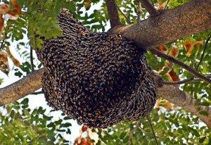 Abeja gigante asiática apis dorsata Enjambre de abejas gigantes asiáticas. espectacular enjambre de estas enormes abejas