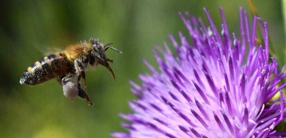 Abeja volando hacia una flor morada