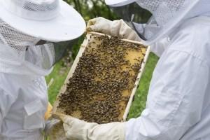 Dos apicultores observando un cuadro, lleno de abejas
