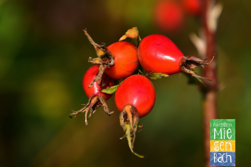 Herbst in Miesenbach (7)
