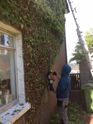 Ivy Removal 2
