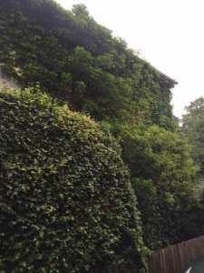 Ivy Trimming