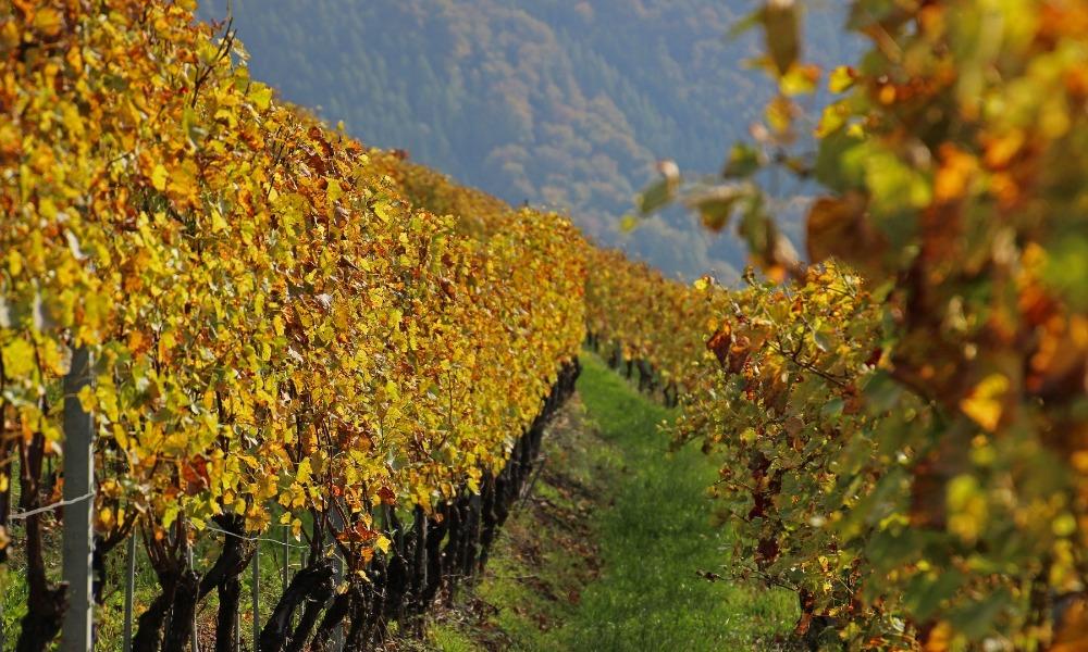 Bex Vineyards near Champéry