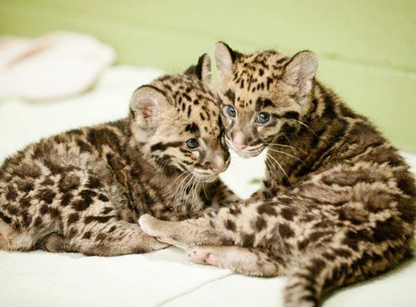 Leopardo Nebuloso Piccoli