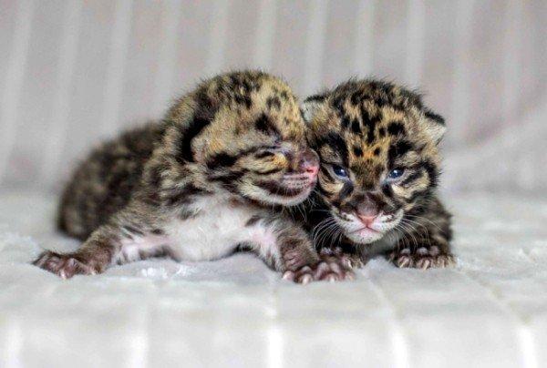 cuccioli di leopardo nebuloso