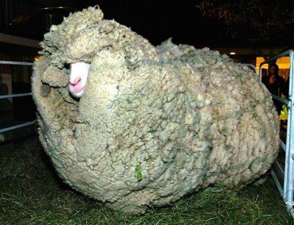 shrek-the-sheep-36