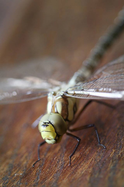 Migrate Design Photography Dragonfly