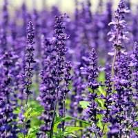 lavender 1507499 640 150x150 - Frases Envidia (81)