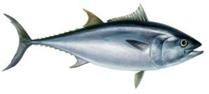 Atún y otros pescados tienen altos niveles de mercurio, ¿cómo tomarlos pues?