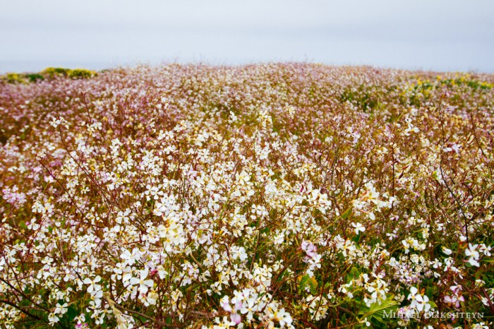 Blooming wildflowers on the northern California coast