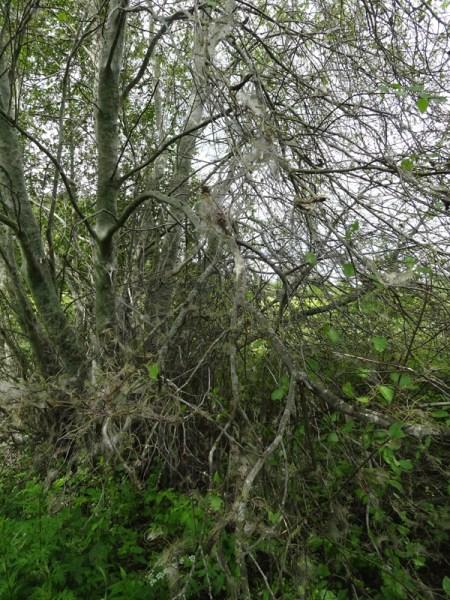 Siinä se puu on, harmaan peiton peittämänä.