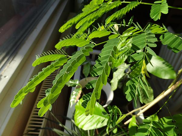 Jämeräjätkä eli jokin akaasia. Jämeräjätkä-nimellä me ollaan tuota kasvia vuosikausia kutsuttu, koska se siemenestä kasvava taimi on niin jämerä. Yksi jämeräjätkä meillä oli pitkän aikaa, mutta joku talvi sen sitten tappoi. Tätä yritetään nyt sitten vaalia. Siemenestä kasvatettu varmaan vuosi tai kaksi sitten.