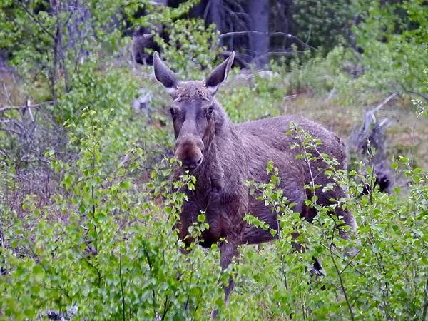HIrviä ei olla nähty enempää kuin tämä yksi nuori yksilö keskellä metsää. Peuroja sen sijaan ollaan bongailtu ennemmän kuin monena vuotena yhteensä!