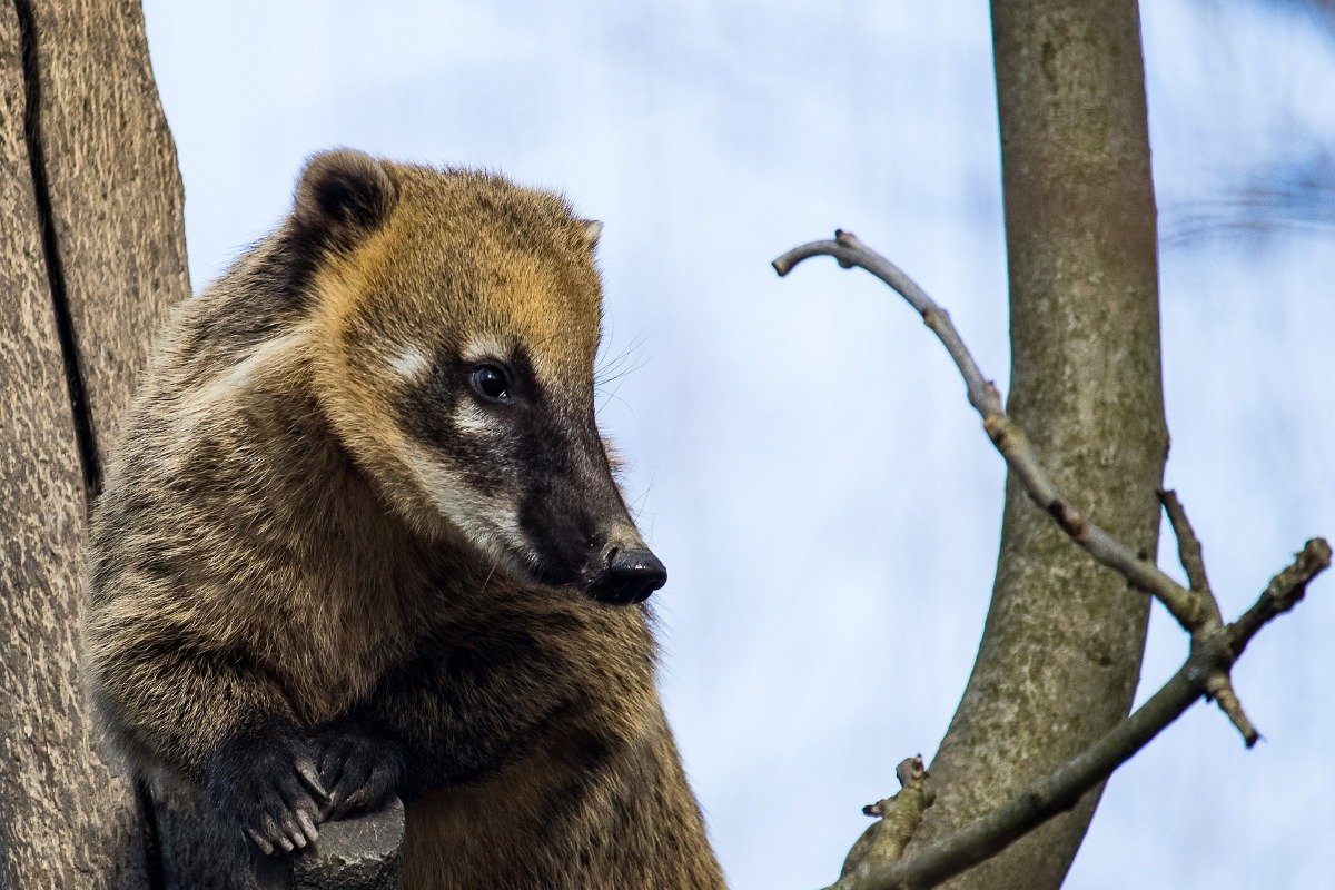 Coati in een boom