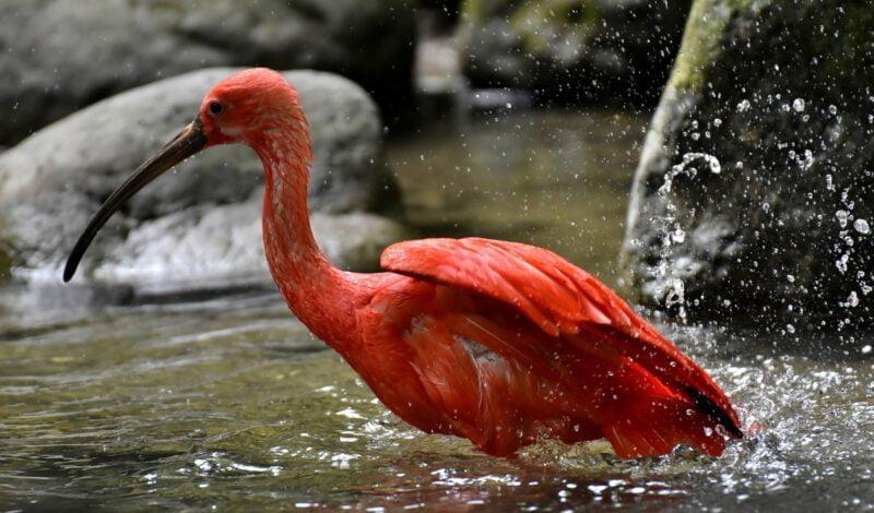 Rode vogel in Parnaíba
