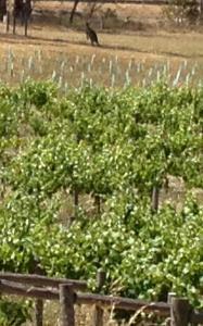 kangoeroe in de wijngaard van M. Chapoutier in Heathcote VIC